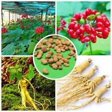 50pcs Panax Ginseng Seeds Asian Wild Planting Chinese Medicine Herbal Seed Plant