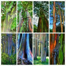 50 Hawaii Rainbow Eucalyptus Seeds Rainbow-Tree Rainbow-Gum Rare viable seed 1
