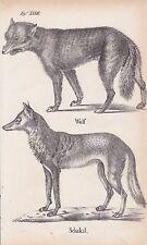 Wolf Canis lupus Schakal Goldschakal Canis aureus LITHOGRAPHIE von 1831 Schinz