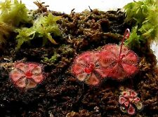 PrCo 50 Drosera burmannii 'Humpty Doo' Seeds Red basal rosettes 3cm Carnivorous