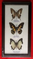 3 REAL BUTTERFLIES BUTTERFLY TAXIDERMY INSECT PICTURE FRAME EMIGRANT JAY TIGER