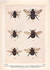 1932 PRINT ~ HILL CUCKOO-BEE VESTAL GIPSY CUCKOO-BEE