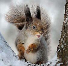 Red Squirrel in Snow Christmas Card - British Winter Wildlife Nature & FreePost!