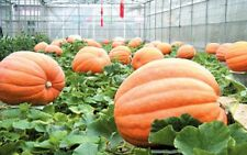 5 GIANT BIG MAX PUMPKIN SEEDS 2017 100 to 300 lbs Possible!