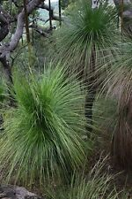 Eastern Coastal Grass Tree Seeds Australian Native Plant Drought Tolerant