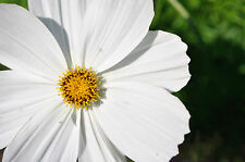 cosmos, WHITE PSYCHO, annual flower, 75 seeds! GroCo,