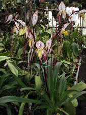 CLASSIC MULTIFLORAL PAPH ORCHID SPECIES philippinense large seedling!!