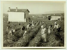 Photo Weyer - La cueillette du Jasmin - Grasse - 1920