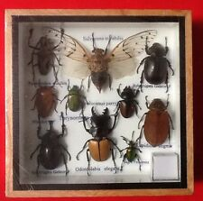 REAL EXOTIC HUGH 10 INSECT DISPLAY TAXIDERMY ENTOMOLOGY CICADA STAG BEETLE