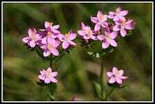 Aprox. 2000+! semillas Centaurium erythraea-tausendgüldenkraut Seeds semillas