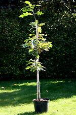 Amerikanische Roteiche 100 - 125 cm  C 7,5  Indian Summer Eiche Quercus rubra