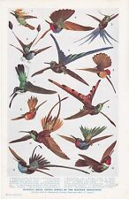 Humming Birds; Living Jewels of the Western Hemisphere. Scarce print circa 1940s