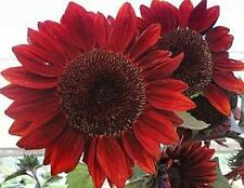 Red Sun Sunflower 50 Seeds Beautiful Dark Colored Red Flowers