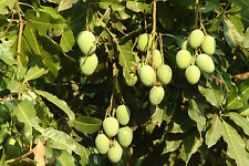 Fresh Mango seeds! Grow your own! Indoor plant! Large bonsai RARE!! Edible!