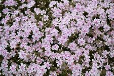 Candystripe Creeping Phlox 12 Plants in 3-1/2 inch Pots FREE SHIPPING