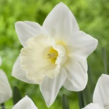 15 Daffodil Bulbs ,Narcissus Mount Hood,Topsize 14/16 cm.Now Shipping