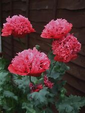 Peony Poppy Frosted Salmon. 300 Seeds. Beautiful Flowers.