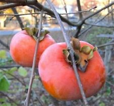 GIANT FUYU PERSIMMON TREE JAPANESE FRUIT TREE *16-24* INCH LIVE PLANTS TREES