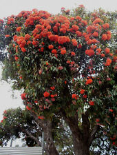 Red Flowering Gum Small Tree Dense Crown Summer Flowers Corymbia ficifolia