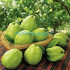 GIANT THAILAND GUAVA FRUIT SEEDS (AVG 40 SEEDS) PACK, BONSAI FRUIT SEEDS PACK
