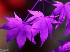60 seeds of purple ghost Acer palmatum Japanese Maple tree
