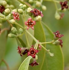 SANDALWOOD TREE (Santalum album) 10 seeds