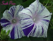 Aomurasakizyouhantenshibori Morning Glory Seeds- Blue Flaked - i. Purpurea - #10