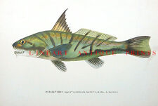 NORTHERN KINGFISH KINGCROAKER ~ Old 1906 Sherman Denton Game Fisherman Art Print