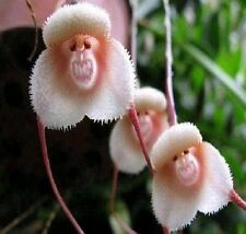 FD940 Rare Monkey Face Orchid Flower Seeds Plant Seed Bonsai New Arrival 10PCs1