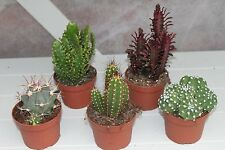 Cactus Plants- Set of 5 Large Indoor Cactus Plants- 14-20cms Tall
