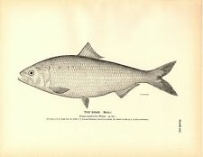 Rare 1884 Antique Fish Print ~ The Shad Collection ~ Lot 5 prints + Map Diagram