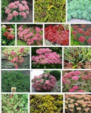 6 Different Sedum Plug Plants , Alpines, Perennial, Ground cover, All Named