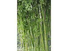100+ fresh Bamboo Seeds with instructions - Fargesia / Borinda Yunnanensis