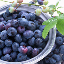 30pcs Sweet Blueberry Seeds Shortbush Fruit Vegetable Seeds Northblue