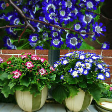 50PCS New DIY Garden Blue Daisy Seeds Awesome Easy to Grow Flower Free Shipping