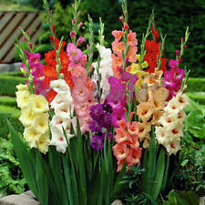 2pc Mixed Colors Gladiolus Jumbo Giant Flower Bulbs Perennials Summer Plant Hot
