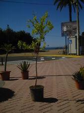 Granatapfelbaum schön gewachsen dicker Stamm / Granado una planta