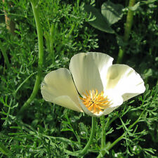 CALIFORNIA Poppy Alba Seeds (F 423)
