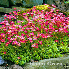 Saxifrage rose robe-saxifraga arendsii - 1000 graines-rocaille vivace fleur