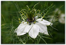 350 Samen Schwarzkümmel Nigella Sativa  Heilpflanze Küchenkräuter Gewürz 001406