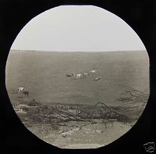 Glass Magic Lantern Slide BOROUGHBRIDGE NO8 C1900 CATTLE YORKSHIRE