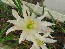 Rain Lily, Zephyranthes Twinkle Strain, 2 bulbs, NEW, RARE, habranthus