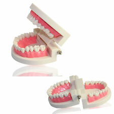 Dental Implant Model Adult Standard Teeth Model Dentures Dentistry Orthodontics