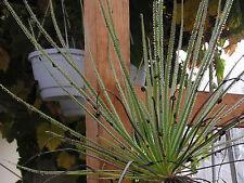 Carnivorous plant Drosophyllum lusitanicum 10 seeds