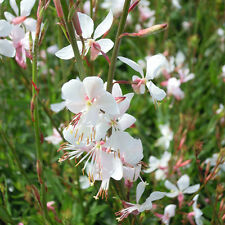 Gaura - Lindheimeri The Bride - 15 Seeds