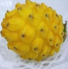 10 Seeds Yellow Dragon Fruit Seeds Hylocereus Pitaya Seeds Fruits Undatus 10PCs