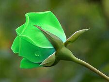 ROSA VERDE - GREEN ROSE, 10 SEMI A PREZZO SPECIALE