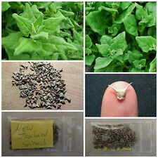 New Zealand Spinach ''Spinacia Oleracea'' ~100 Top Quality Seeds - EXTRA RARE