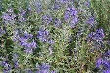 3 x Caryopteris Clandonensis Heavenly Blue 9cm Pots
