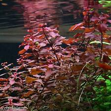 3x Ludwigia sp. Mini 'Super Red' 18+ STEMS - Live Aquarium Plants Repens Rubin